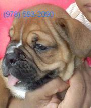 Christmas Special !!! MICRO English Bulldog  8 weeks old